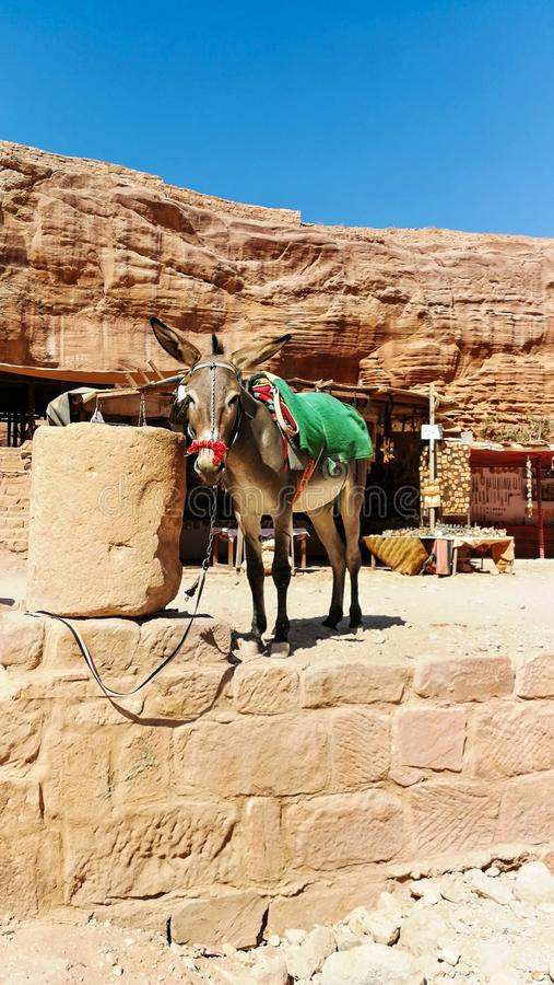Donkey standing and having a rest. Bedouins and their animals in Petra reserve. Transport in Petra. Tourist route in ancient city. Of Petra stock image