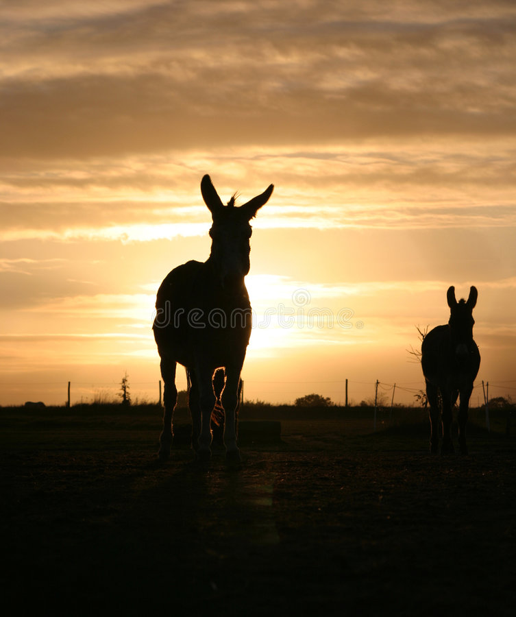 Donkey in the Sunset. On a Farm royalty free stock photography