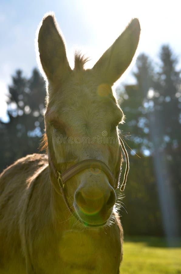 Donkey in sunset royalty free stock photos