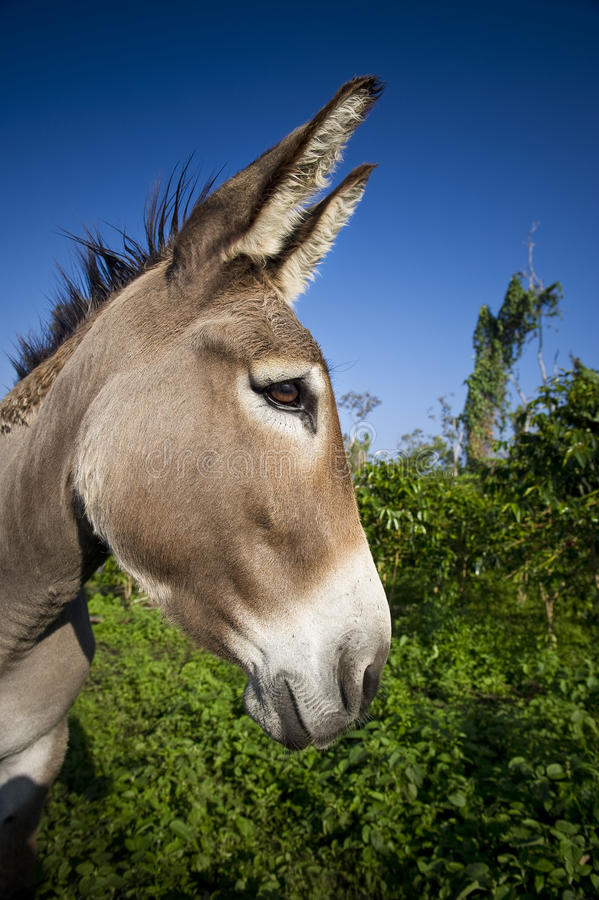 Donkey. A donkey is use to control weed in a coffee plantation in Hawaii stock images