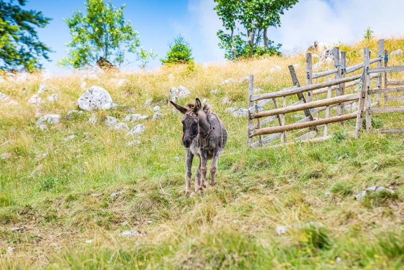 Donkey on Vlasic mountain in Bosnia and Herzegovina royalty free stock images