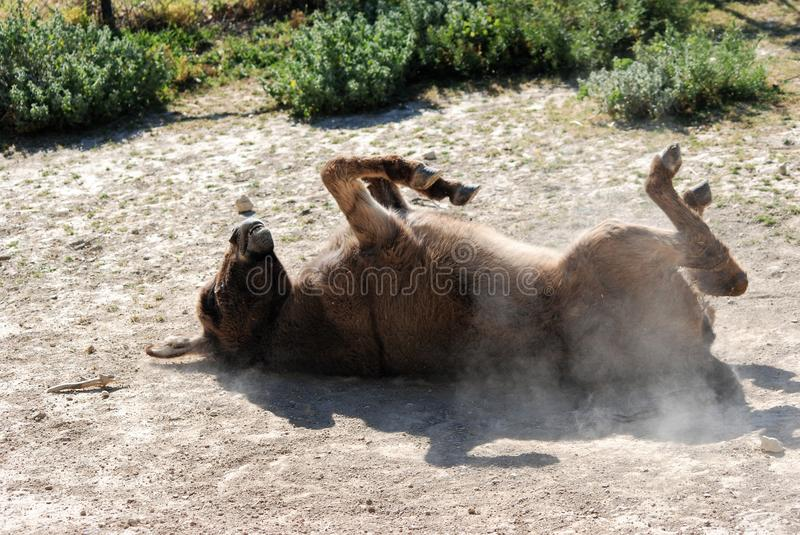 Donkey. Wallowing in the sand royalty free stock images