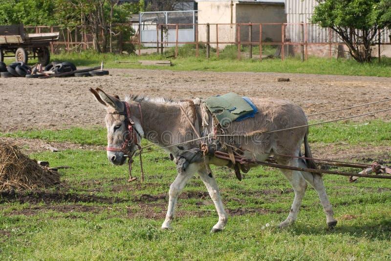 Donkey in work royalty free stock photo