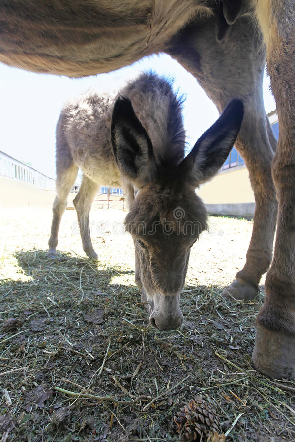 Download Donkey stock photo. Image of agriculture, foal, mule - 33465672