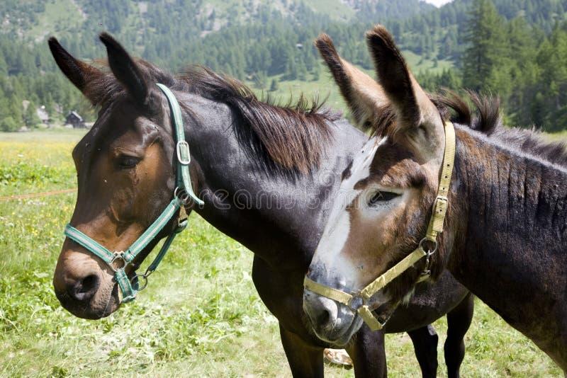 Download Donkeys stock photo. Image of ears, animal, hair, mule - 10369610