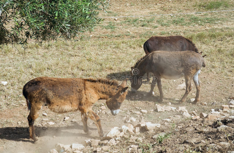 Download Donkeys. stock photo. Image of burro, muzzle, olive, muggy - 14738838