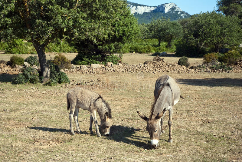 Download Donkeys stock image. Image of mule, countryside, country - 16336297