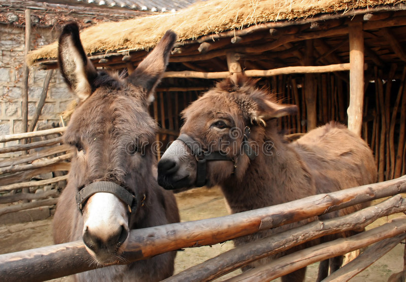 Donkeys royalty free stock photography
