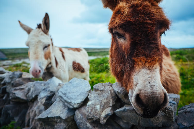 Donkeys in Aran Islands, Ireland. A shot of two donkeys in Aran Islands, Ireland royalty free stock images