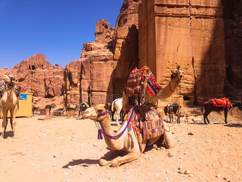 Donkeys and camels having a rest. Bedouins and their animals. Transport in Petra, Jordan. Excursion in to ancient city of Petra. Donkeys and camels having a royalty free stock image