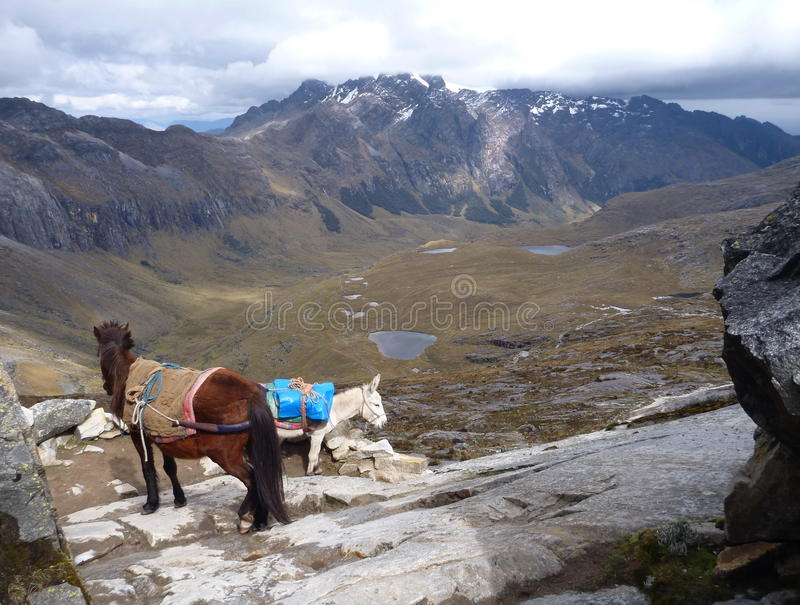 Donkeys carrying luggage of trekkers stock image