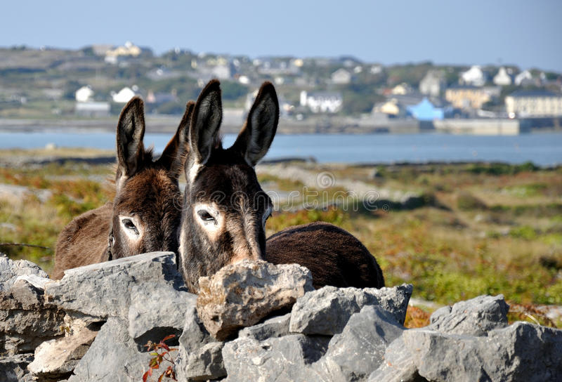 Donkeys. Close view of couple of funny donkeys in Aran island Inis Mor