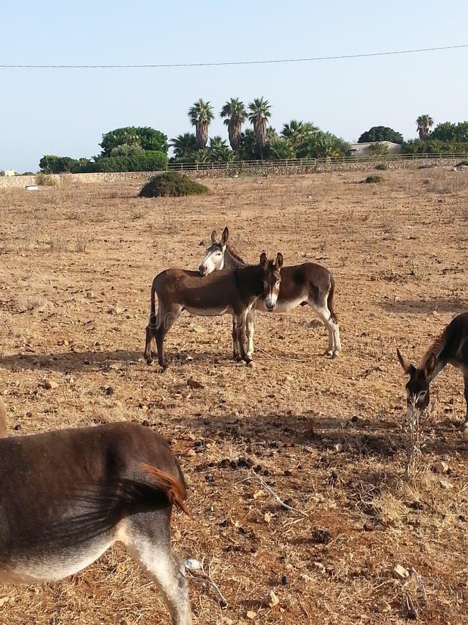 Donkeys, Dodecanese Greece. Free donkeys, Dodecanese islands, Greece stock image