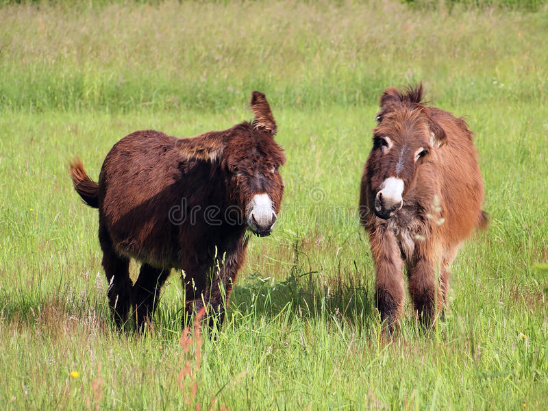 Download Donkeys eating grass stock image. Image of cute, beast - 25355253