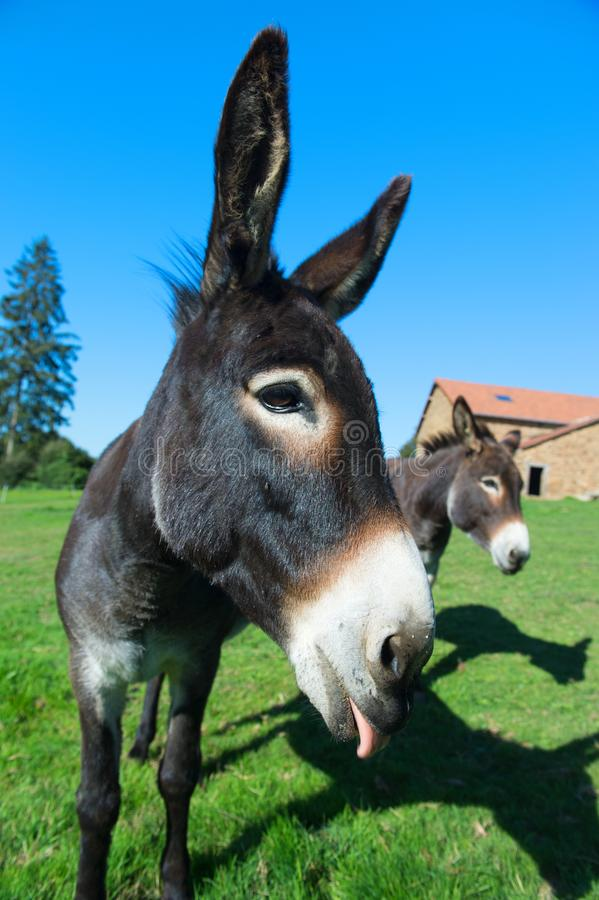 Donkeys at the farm stock images