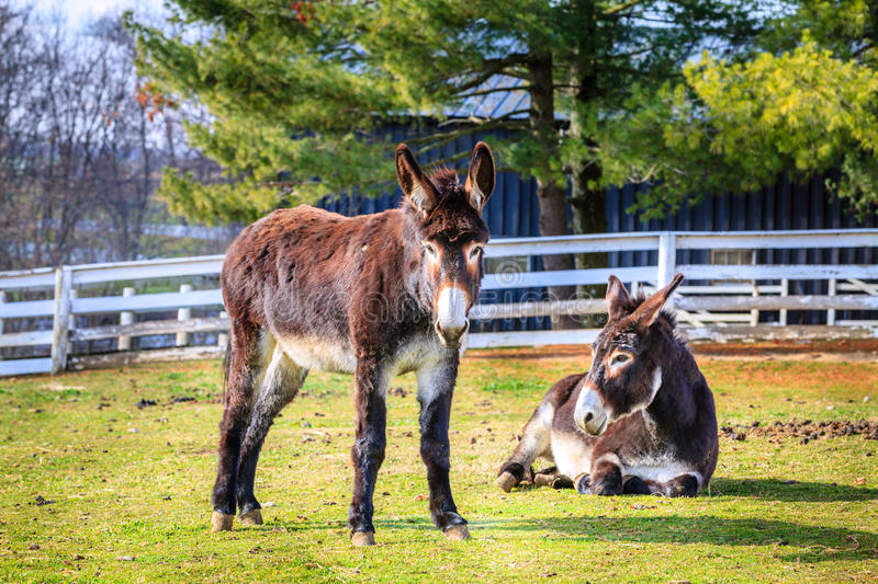 Download Donkeys on the farm stock image. Image of standing, grass - 37764513