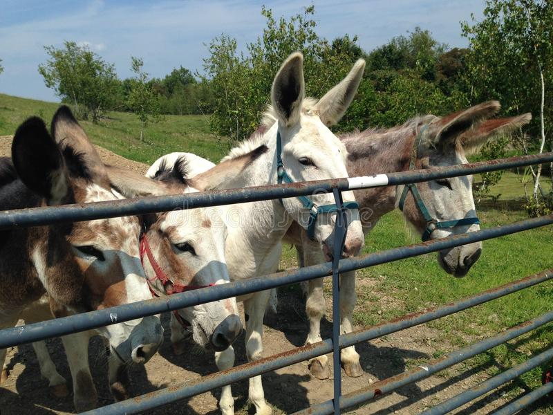 Donkeys at a Fence royalty free stock photography