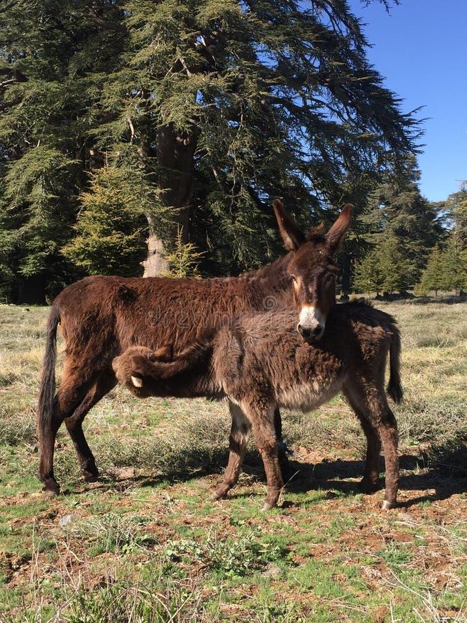 Donkeys stock image
