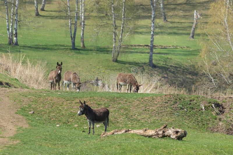 Donkeys graze in the meadow, in the background are trees. Outdoor royalty free stock photos