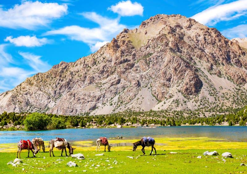 Donkeys graze near the mountain lake in Fann Mountains background, Tajikistan. Donkeys for transportation of goods.  royalty free stock image