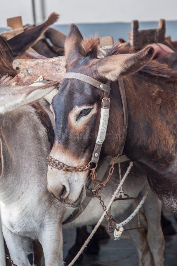 Donkeys Lindos Rhodes Greece. Donkeys in Lindos, Rhodes Island, Greece stock images
