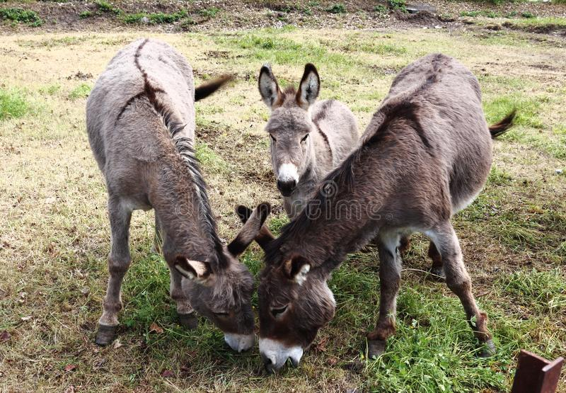 Donkey family in Château Ville-Vieille, France. Donkeys are a real individuality. A donkey is a nice, kind, affectionate, beautiful, inquisitive, faithful royalty free stock image