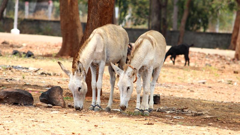 Donkeys are searching ground for food. Two Donkeys are searching food on the ground in the village area royalty free stock images