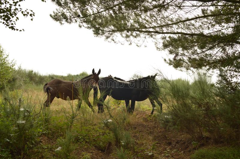 Donkeys Set On A Farm In Galicia Near Of the Santiago Walk. Nature, Animals, Landscapes, Travel. royalty free stock image
