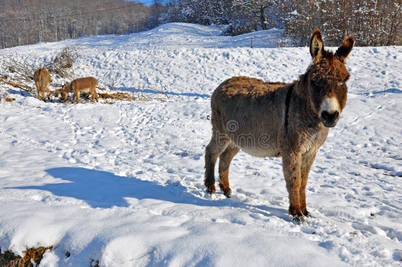 Donkeys on snowy field stock image
