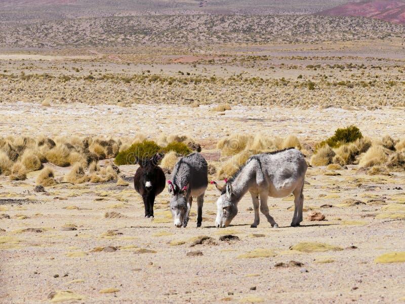 Donkeys with wool tuft ear identity tags. Bolivia royalty free stock photos