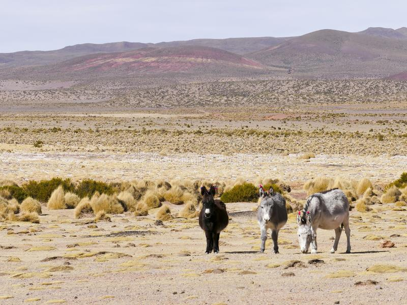 Donkeys with wool tuft ear identity tags. Bolivia stock photography