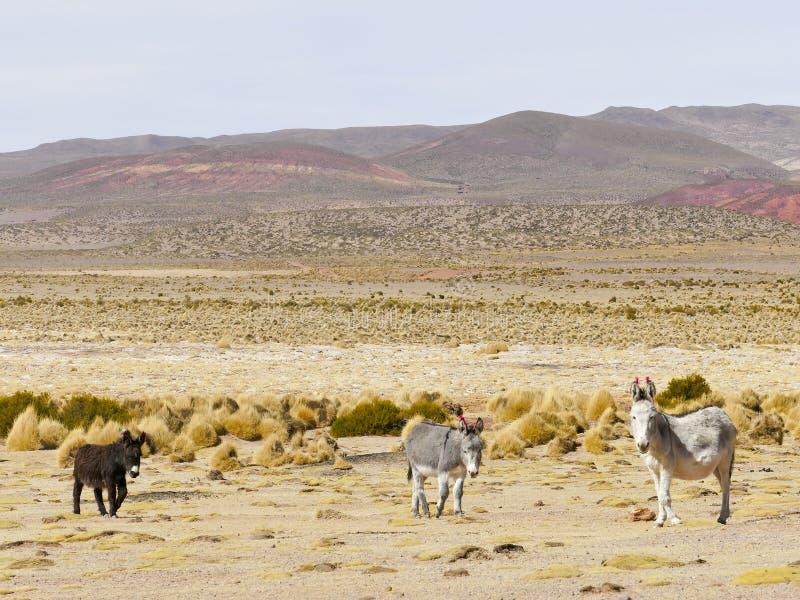 Donkeys with wool tuft ear identity tags. Bolivia stock image