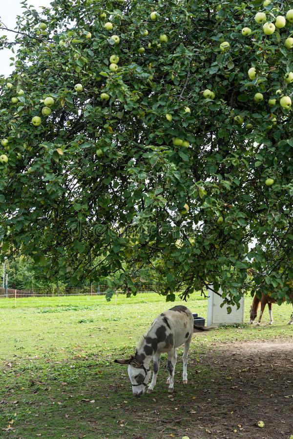 Donking che mangia erba e le mele sul prato sotto il grande albero fotografia stock