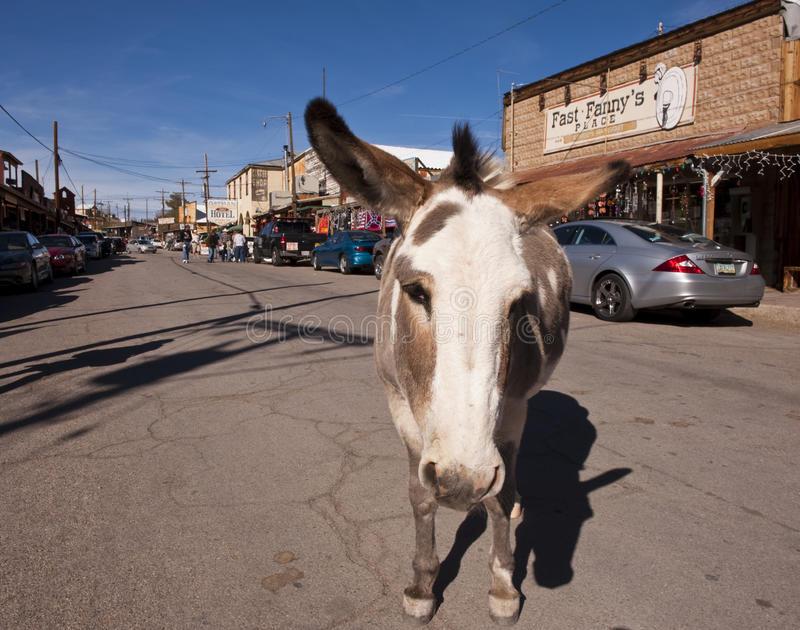 Donky in Oatman, Arizona stock fotografie