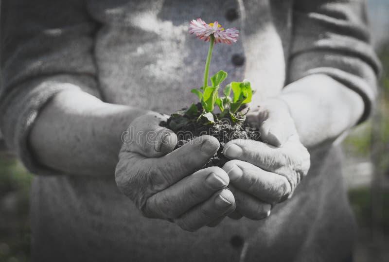 Donna anziana che tiene un fiore fotografia stock