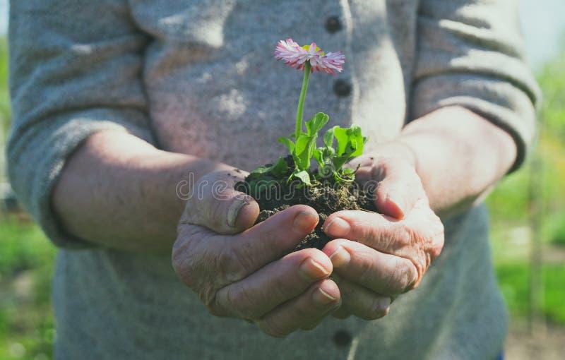 Donna anziana che tiene un fiore immagine stock libera da diritti