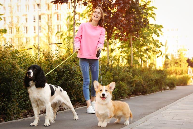 Donna che cammina i cani dello spaniel inglese da salto e di Pembroke Welsh Corgi fotografia stock libera da diritti