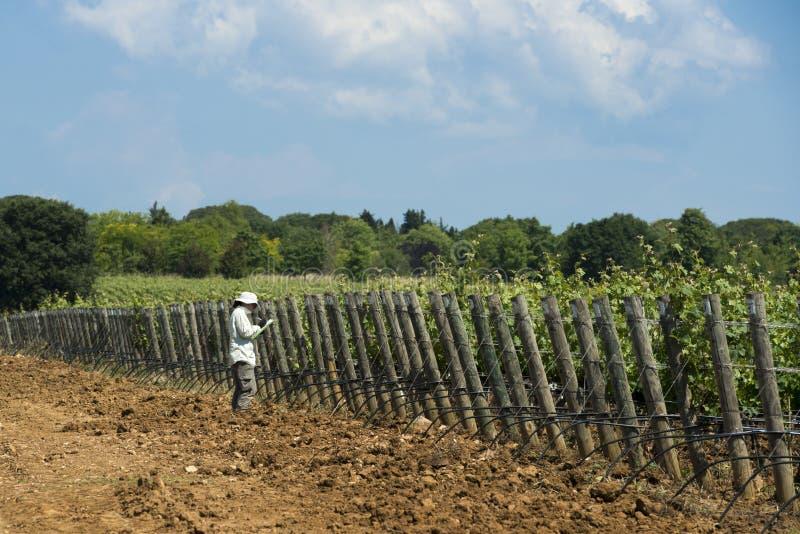 Donna che controlla una vigna in Toscana fotografia stock libera da diritti