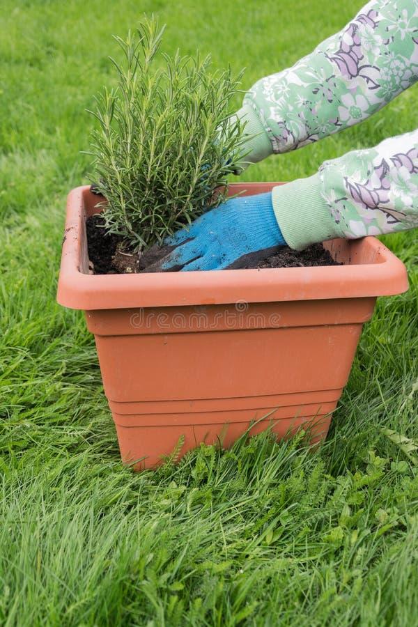 Donna che pianta i rosmarini in vaso da fiori di terracotta fotografie stock