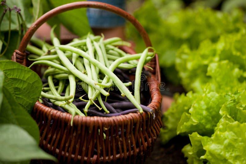 Donna che raccoglie i fagiolini verdi in giardino immagine stock libera da diritti