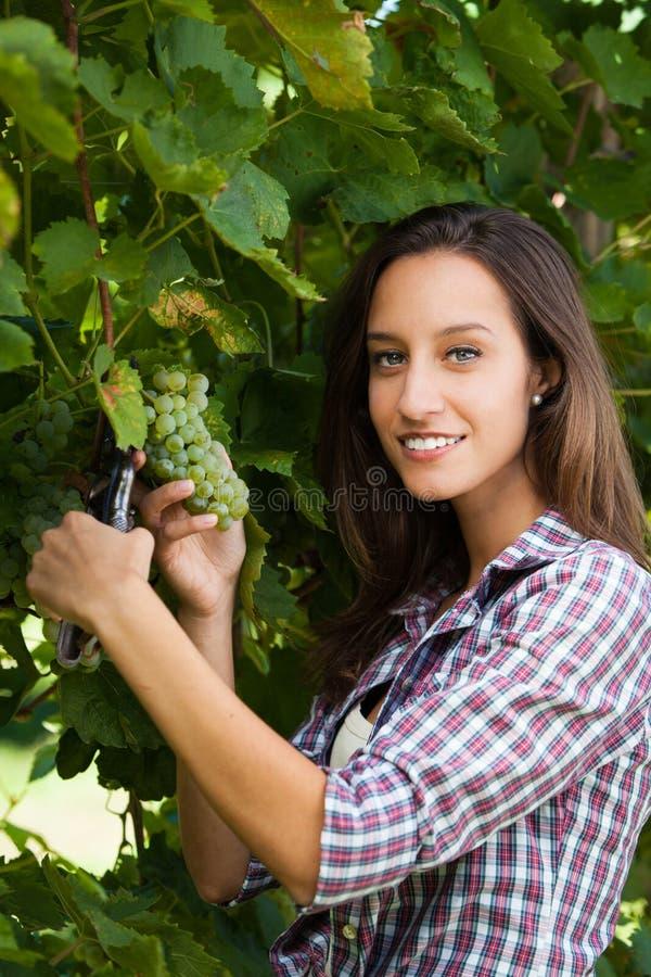 Donna che raccoglie l'uva fotografia stock