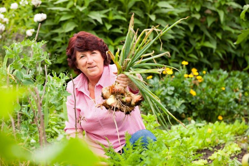 Donna che raccoglie le cipolle in giardino fotografia stock