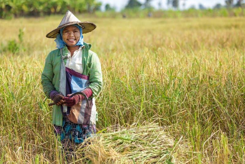 Donna che raccoglie riso fotografia stock libera da diritti