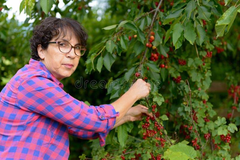 Donna che seleziona ciliegia rossa dall'albero nel giardino di estate fotografie stock