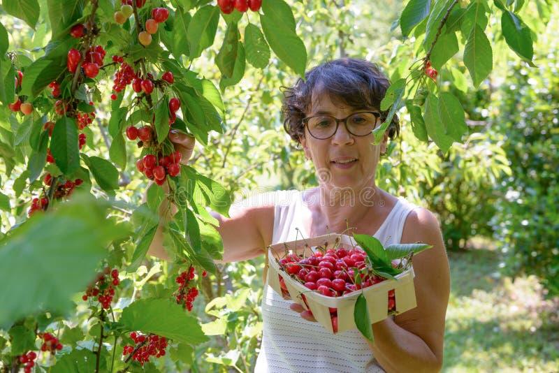 Donna che seleziona ciliegia rossa dall'albero nel giardino di estate fotografia stock