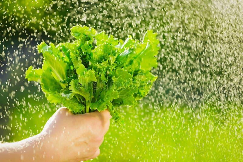 Donna che seleziona insalata fresca dal suo orto Foglie della lattuga sotto le gocce di pioggia fotografia stock libera da diritti