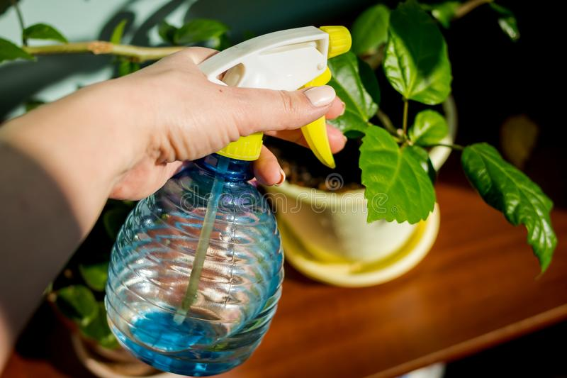 Donna che si preoccupa per la pianta della casa Donna che prende cura delle piante a sua casa, spruzzante una pianta con acqua pu fotografia stock libera da diritti