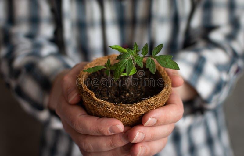 Donna che tiene in sue mani un germoglio del pomodoro immagini stock