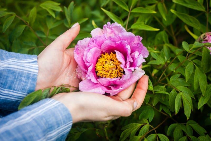 Donna che tiene un fiore della peonia in mani immagini stock