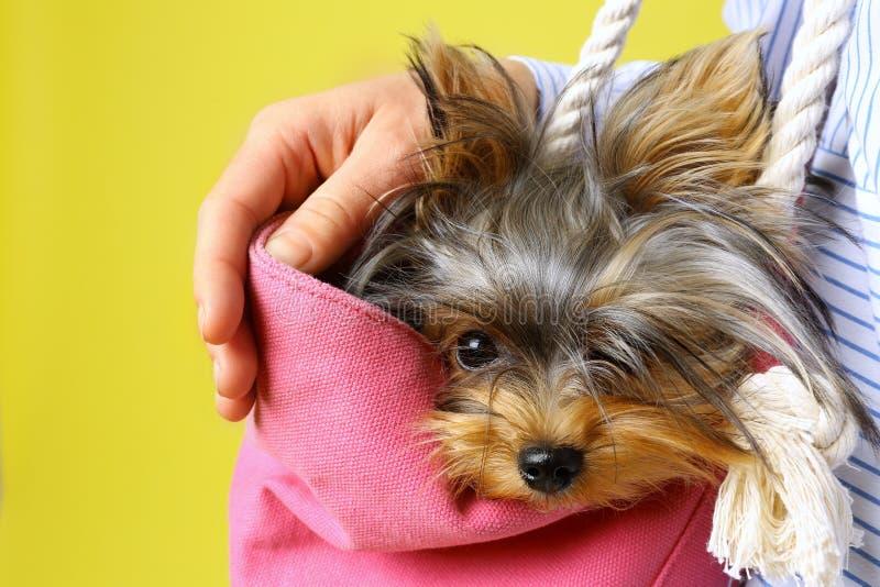Donna che tiene una borsa rosa con Adorable Yorkshire terrier sullo sfondo, chiusura Cane canino fotografia stock